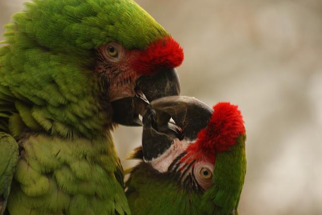láska papoušků