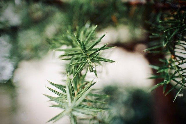 detail borovice